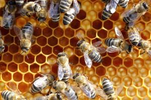morìa api
