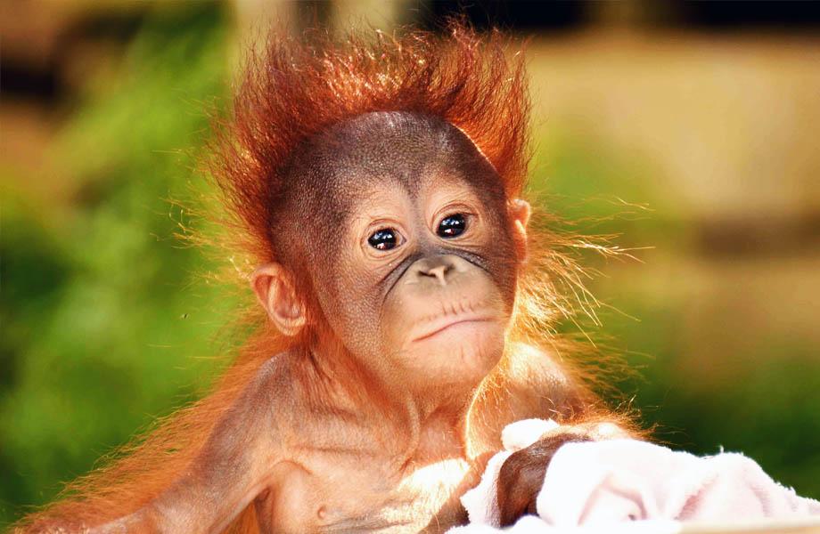 orangutango Onu
