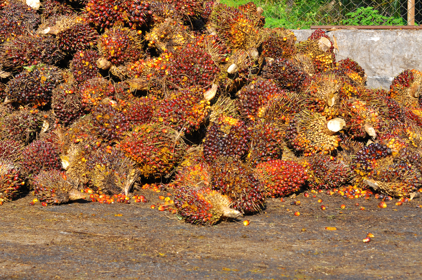 harvested palm oil fruit bunch.