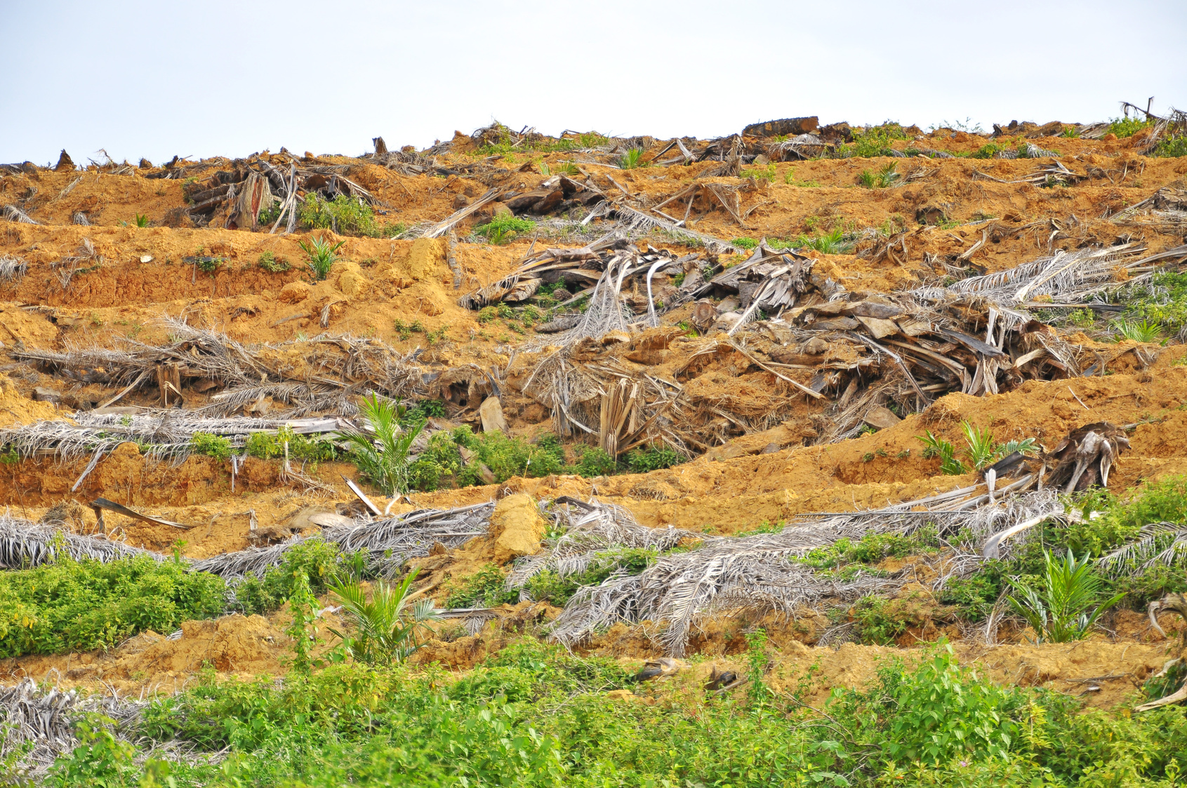 Deforestation and replanting of young oil palm tree.
