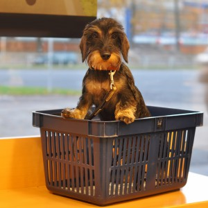 dachshund dog in the store in the shopping cart