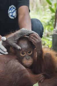 orangutan nam cucciolo