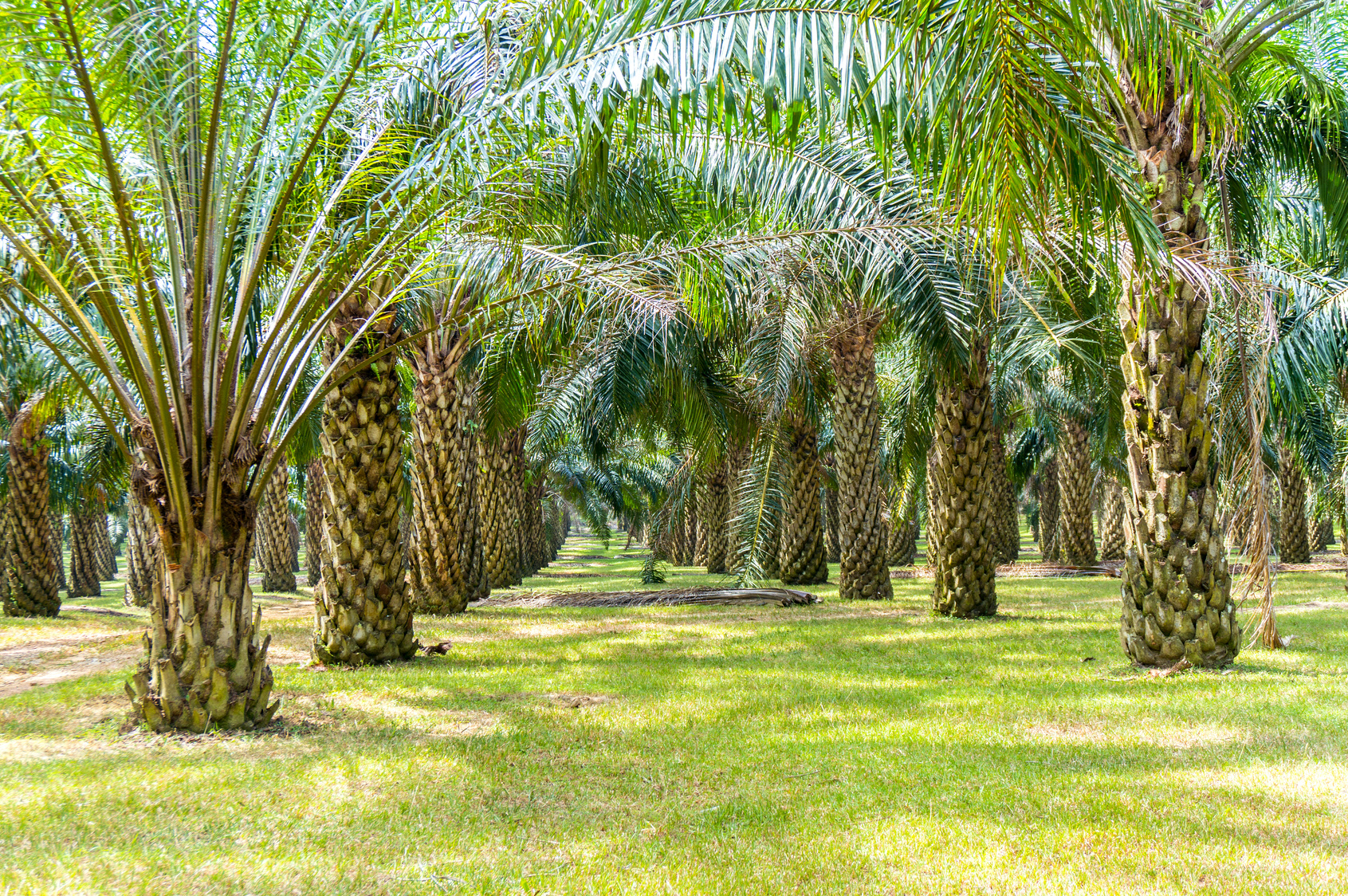 palm oil plantation growing up