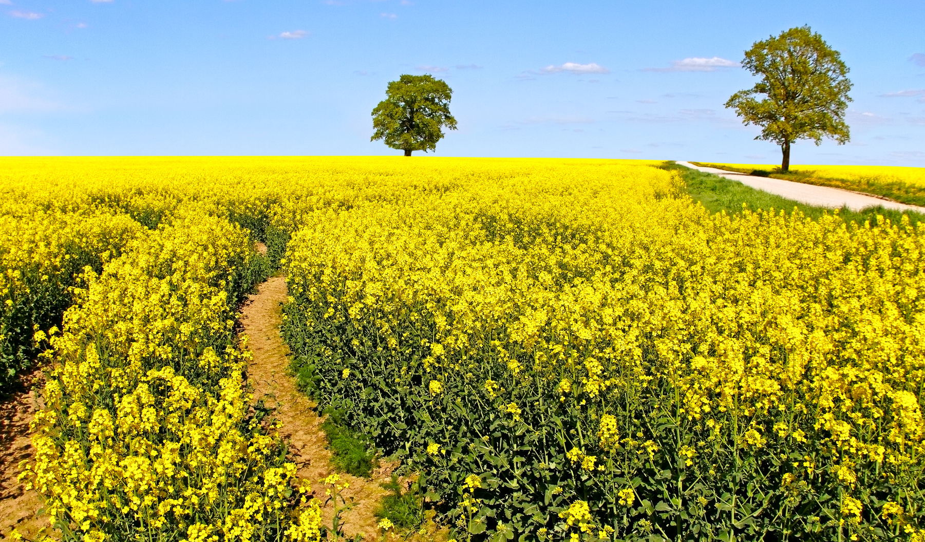 Rapeseed field in a sunny day.