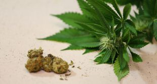 A close up view of cured weed buds along with a marijuana plant that has a flower growing.