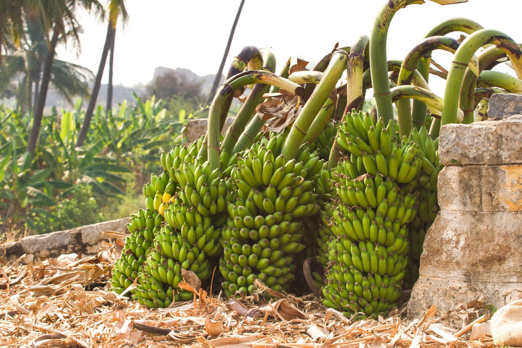 Pianta Di Banana Foto banane: i segreti sul lungo viaggio, conservazione e maturazione