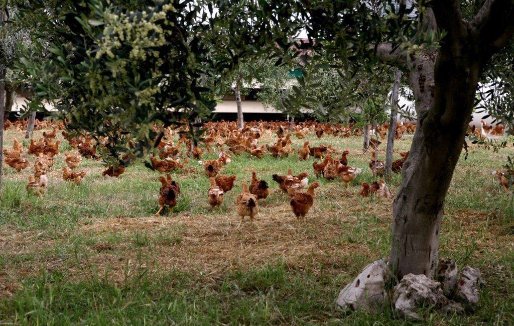 pollo senza antibiotici