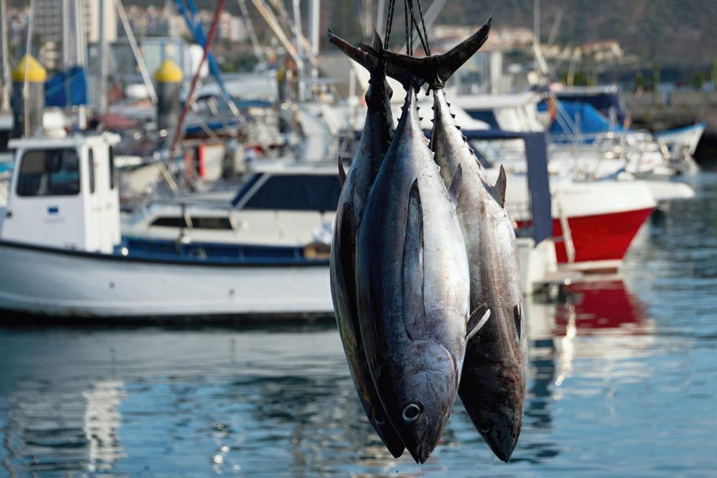 tonno pesca