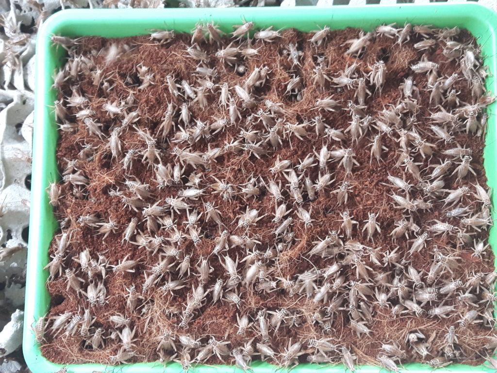 allevamento insetti grilli
