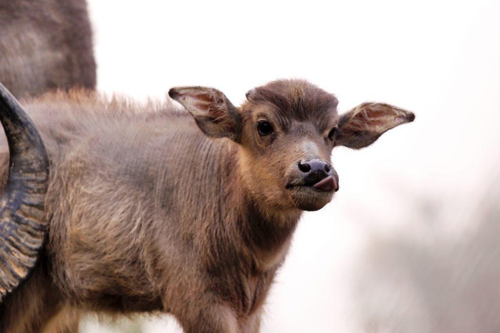 bufalino annutolo